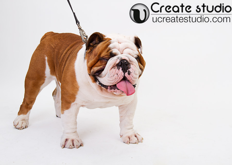 Bull-dog-portrait_Daisy-Hsieh-Photographer_U-Create-Studio