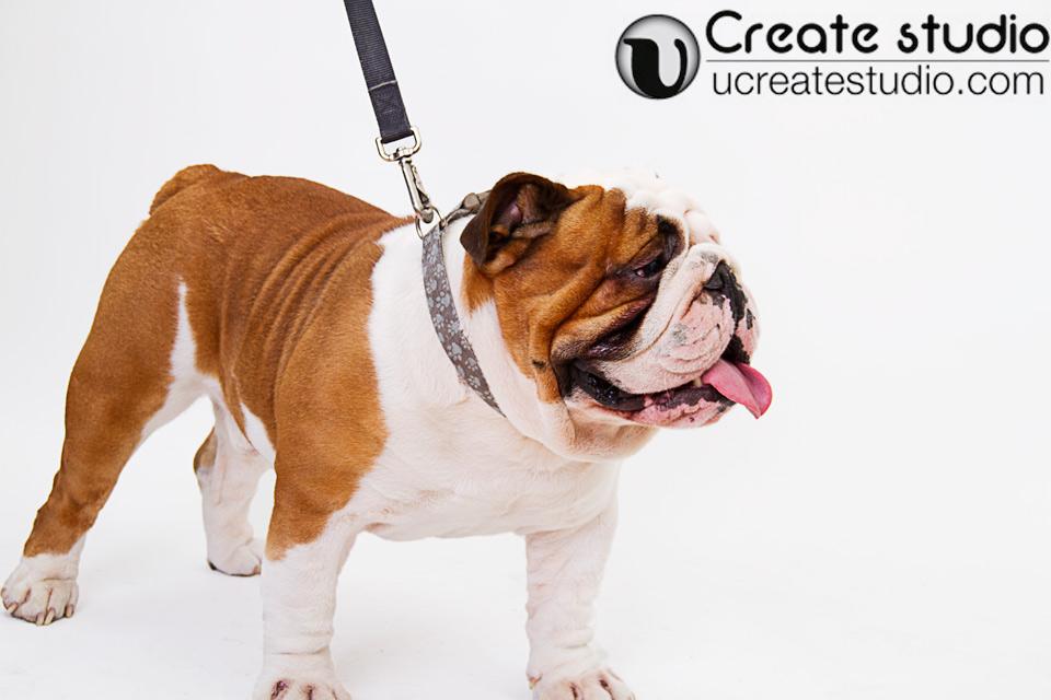 Bull-dog--side-portrait_Daisy-Hsieh-Photographer_U-Create-Studio